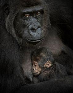 Wildlife & Nature - Katha Leo - Wildlife & Nature Gorilla with child - Primates, Mammals, Wildlife Nature, Nature Animals, Animals And Pets, Strange Animals, Zoo Animals, Beautiful Creatures, Animals Beautiful