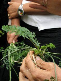 Erbacce commestibili: 10 erbe spontanee da raccogliere e mangiare