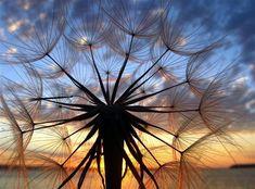 Sunset through a dandelion seed pod, cool!