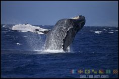 Ten Facts About Whale Watching In Maui. Example for me to learn from, by LiAnne Coon of Trilogy Excursions, Maui, HI.