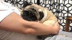 Funny Pug Videos, Pug Gifs, Cute Cat Wallpaper, Boss Baby, Pug Puppies, Cute Pugs, Pug Love, Corgis, Kimchi