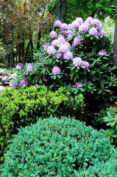 Color Contrasts Pink Rhododendron flowers with the chartreuse of the new growth on Taxus 'Hicksii' yew and the blue-green foliage of Newport Blue Boxwood (Buxus sempervirens 'Newport Blue').