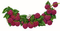 https://foodartist.files.wordpress.com/2010/12/raspberry-branch2.jpg