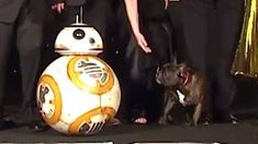 Carrie Fisher's Dog Barks at at the Star Wars London Premiere Star Wars Clone Wars, Star Wars Art, Star Trek, Gary Fisher, Carrie Fisher, Debbie Reynolds, Episode Vii, Dog Barking, Princess Leia
