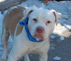 SAFE 04/10/15!  Was TO BE DESTROYED - 03/08/15 Brooklyn Center - P   My name is BEAR. My Animal ID # is A1028983. I am a male brown and white am pit bull ter mix. The shelter thinks I am about 2 YEARS old.  For more information on adopting from the NYC AC&C, or to  find a rescue to assist, please read the following: http://urgentpetsondeathrow.org/must-read/