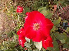 Rose flamboyante