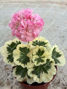 100 sztuk/worek geranium Peltatum Pelargonium Byliny nasiona bonsai nasiona kwiatów Nasiona Kwiatów doniczkowe Nasiona geranium dla domu ogród