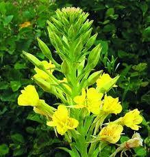 WIESIOŁEK DWULETNI Oenothera biennis  [ang: common eelgrass, fr: anagre bisannuelle, niem: Gartenrapunzel]