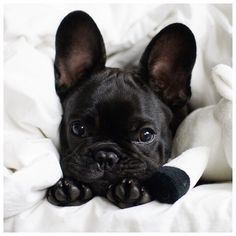 adore french bulldogs