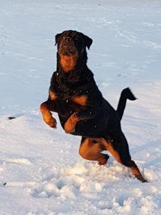 Rottweiler Lowie!!!!