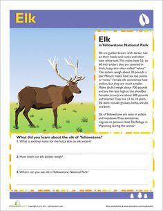 Elk, Yellowstone