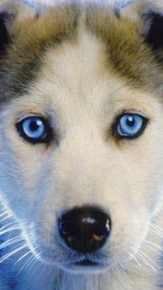 Loki the Siberian Husky Puppies Daily Puppy Puppy