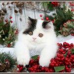 Black & White Bi-Color Persian Kitten