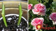Najjednoduchší spôsob ako rozmnožiť ruže: Práve teraz je ten správny čas, o rok budú najkrajšou ozdobou vašej záhrady!