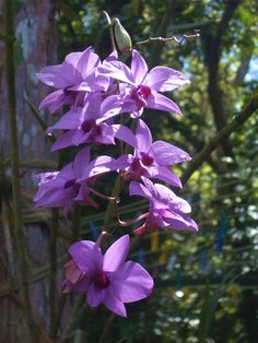 The Cooktown Orchid (Vappodes phalaenopsis) has been the floral emblem of Queensland since 1959. The flowers are usually lilac-purple, but can be bluish or even white and sometimes pinkish with darker purple labellum without a white spot