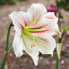 Daylilies & Irises: How To Divide & Transplant. These are plants  that are stronger if you divide every now and then