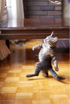 This is what happens when you have parquet flooring!......LOOK MAW--SEE ME STRUT?.....I JOINED THE AMAZING FURRY FELINE BAND.....IF YOU THINK THIS IS SOMETHING, WAIT TIL YOU SEE US IN UNIFORM......ccp