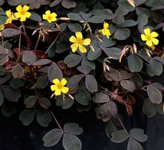 Oxalis spiralis vulcanicola: It's covered most of the year in pretty yellow flowers & grows to about high by wide. Succulents Garden, Garden Plants, Planting Flowers, Indoor Plants, Part Shade Plants, Types Of Plants, Yellow Plants, Yellow Flowers, Sorrel Plant
