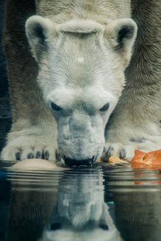 Polar Bear Drinking by Shannon Kunkle