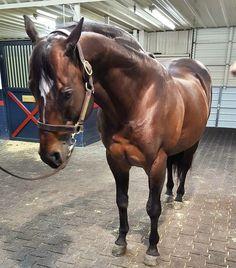 El famoso semental Corona Cartel posando en LazyeRanch. #coronacartel #lazyeranch #stallionmexsearch #cuartodemilla #caballo #horseracing  #caballodecarreras #carrerasdecaballos #horsesofinstagram #caballosfinos #horse #riding #quarterhorse #aqha #horselife #cavalo #horserancing #nofilter #equestrian #horsephotography #equine #instahorse #horseride #thoroughbred #ponies #fit  #fitness #photooftheday #حصان #лошади