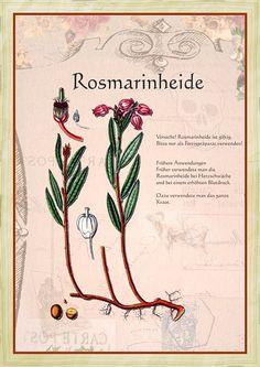 Rosmarinheide                                                       …