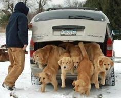 I wish I could have that many Goldens!!!