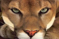 A Cougar, Puma concolor, a male animal in the forest of Belize