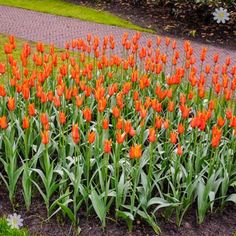 beautiful Tulips Tulip Syneada Orange Size:12+ pack of 12 bulbs Check more at http://www.gardenorchid.co.uk/product/tulips-tulip-syneada-orange-size12-pack-of-12-bulbs/
