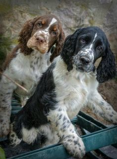 My baby was a springer - cutest one I've actually seen but these two are pretty darn cute!
