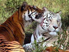 Tigres:felinos en peligro - Taringa!