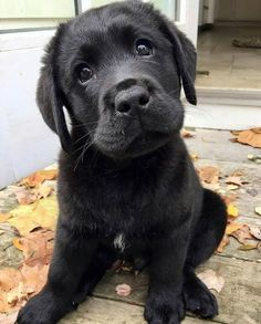 Mind Blowing Facts About Labrador Retrievers And Ideas. Amazing Facts About Labrador Retrievers And Ideas. Black Puppy, Black Lab Puppies, Cute Puppies, Cute Dogs, Dogs And Puppies, Doggies, Cute Labrador Puppies, Black Labs Dogs, Corgi Puppies
