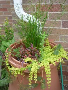 Rain garden in a rain barrel.  The creeping jenny and parrot feather did extremely well...flowed almost to the ground!