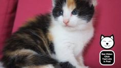 I love this kitten's 3 colored fur!  http://www.catvideooftheweek.com/videos/view/2643  #cvotw
