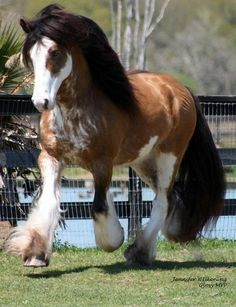 Clydesdale Horse i want one so bad after the Budweiser Puppy love commercial!                                                                                                                                                      More