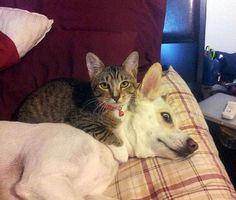 25 кошек, которые настолько обнаглели, что используют собак вместо подушки