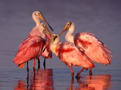 Roseate Spoonbills @ Ding Darling National Wildlife Refuge, Sanibel Island, FL.