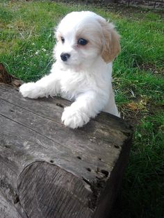Cavachon Puppy - awwwww!! Head to NoahsDogs.com and take our new compatibility test!