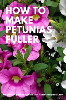 Petunias can sometimes be fairly high maintenance plants. With these simple care tips, you ca. Petunias can sometimes be fairly high maintenance plants. With these simple care tips, you can make your petunias fuller and keep them from getting leggy. Outside Plants, Outdoor Plants, Garden Plants, Outdoor Gardens, Planter Garden, Outdoor Flowers, Patio Plants, Potted Plants, Geraniums Garden