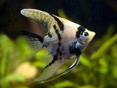 Escalar o Pez Angel http://www.mascotadomestica.com/especies-de-peces/escalar-o-pez-angel.html