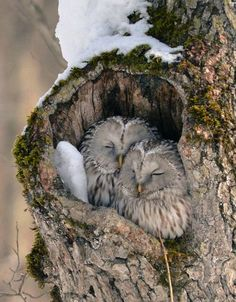 The Ezo Fukuro is a local sub-species of the Ural Owl. Unfortunately these guys probably love to feed on some of the other cute and tasty animals in this post!