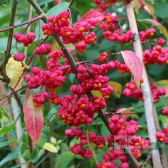 Euonymus europaeus - Spindle Tree | Mail Order Trees