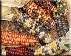 """Saskatchewan Rainbow Flint  This rare heirloom flint corn has been grown in Saskatchewan for years. It is very early with short stalks of about 2 ½-3 feet tall and multicolored cobs reaching about 4"" long. This is a very old variety that old timers called Squaw Corn. I talked to one gentleman that remembers his mother making kind of a porridge out of this type of corn and they would eat it often throughout the cold winter months."""