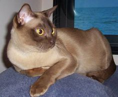 Burmese - Burmese cats lived for centuries in Burma, Thailand and Malaya. In late 1800s they were known in England as  Chocolate Siamese, but because they were not favoured they gradually died out in England and Europe. The ancestry of Burmese cats can be traced back to one cat named  Wong Mau, who was a brown female from Burma and arrived in San Francisco in the early 1930's to Dr. Joseph Thompson.   Through selective breeding to Siamese,  the  Burmese was established as a distinct breed.