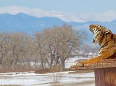 Animal Sanctuaries Where You Can Give Back To Wildlife Wild Animal Sanctuary Colorado, Safe Haven, Animal Welfare, Big Cats, Animal Rescue, Baby Animals, The Good Place, Kittens, Wildlife