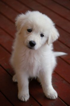 funny dog pictures - Goggie ob teh Week: Sweet Puppy Eyes What a cutie! Pyrenees Puppies, Great Pyrenees Puppy, Cute Dogs And Puppies, Pet Dogs, Pets, Doggies, Chien Golden Retriver, Beautiful Dogs, Animals Beautiful