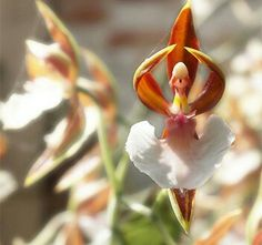 Orchidea ballerina