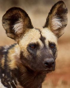 Africa Hunting, Hunting Dogs, Wildlife Nature, Nature Animals, Game Reserve South Africa, Yellow Lab Puppies, Dachshund Puppies For Sale, African Wild Dog, Wild Dogs