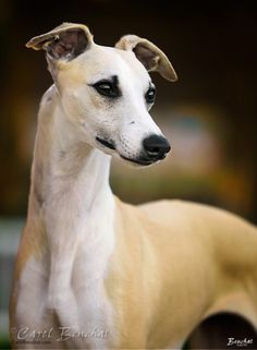 {this looks a lot like my Whippet before we let her get spoiled & fat. It takes a lot of years & treats to make that happen! Greyhound Art, Italian Greyhound, Beautiful Dogs, Animals Beautiful, I Love Dogs, Cute Dogs, Whippet Dog, Grey Hound Dog, Dogs Of The World