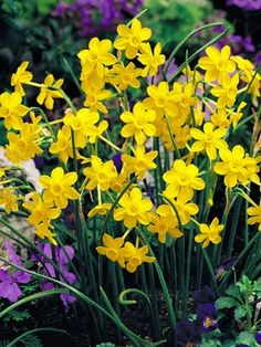Daffodil Baby Moon  One of my favorites-fragrant