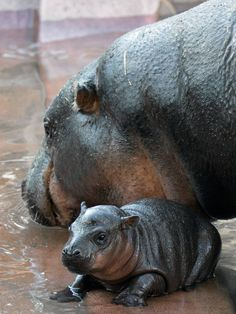 8 Day Old - Pygmy Hippopotamus (Hexaprotodon Liberiensis) The hippopotamus (Hippopotamus amphibius), or hippo.  Despite their physical resemblance to pigs and other terrestrial even-toed ungulates, their closest living relatives are cetaceans (whales, porpoises, etc.) from which they diverged about 55 million years ago.